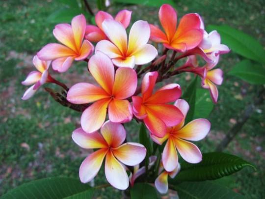 Frangipani Darwin Monsson (frangipani)