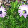 Osteospurmum ecklonis 'Passion' (Osteospermum ecklonis)