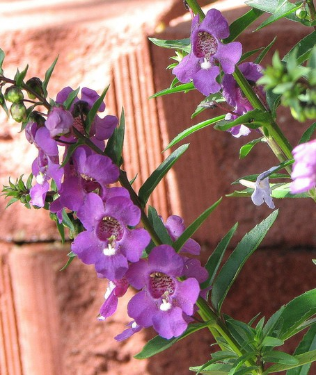 Angelonia serena - up close (Angelonia angustifolia - 'Serena' series)