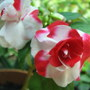 Impatiens walleriana - double - &#x27;Sparkler Cherry&#x27; (Impatiens walleriana (Busy Lizzie))