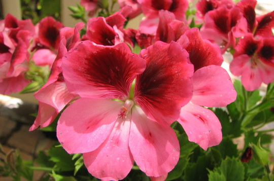 Pelargonium (Pelargonium x domesticum 'Bel Brown Eyes')