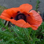 Poppy_in_october_