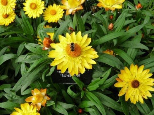 Helichrysum Sunshine