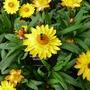Helichrysumsunshine2