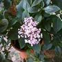 Hydrangeamacrophylla_ayesha2
