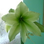 Green Dragon (Hippeastrum hybrid)