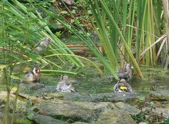 Goldfinch bathing.