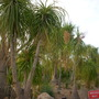 Beaucarnea recurvata - Ponytail Palm or Elephant's Foot Tree (Beaucarnea recurvata - Ponytail Palm or Elephant's Foot Tree)