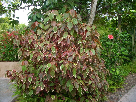 Acalypha wilkesiana 'Marginata' - Copper Leaf Shrub (Acalypha wilkesiana 'Marginata' - Copper Leaf ShrubShrub)