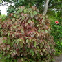 Acalypha wilkesiana &#x27;Marginata&#x27; - Copper Leaf Shrub (Acalypha wilkesiana &#x27;Marginata&#x27; - Copper Leaf ShrubShrub)