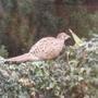 pheasant_005.jpg