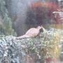 pheasant_001.jpg