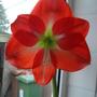 A,maryllis (Amaryllis belladonna (Belladonna lily))