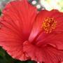 Hibiscus_small_