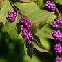 Am_beautyberry_small_