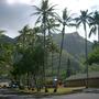 Cocos nucifera - Coconut Palms (Cocos nucifera - Coconut Palms)