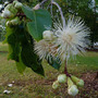 For Pipsqueak:  Lilly Pilly - Syzygium oleosum (Syzygium oleosum)