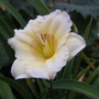 Unnamed daylily (Hemerocallis)