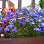 Blue_trailing_lobelia