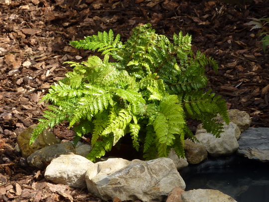 JADE - Fern (Polystichum Polyblepharum)