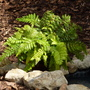 Polystichum_polyblepharum_by_the_pond_