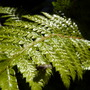 A garden flower photo (Polystichum Polyblepharum)