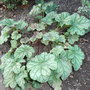 Heuchera_mint_frost_