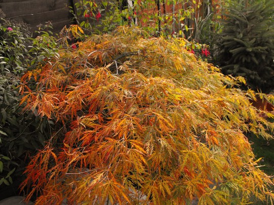 Beautiful Autumnal Acer