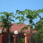 Carica papaya 'Maradol' - Mexican Maradol Papaya (Carica papaya 'Maradol' - Mexican Maradol Papaya)