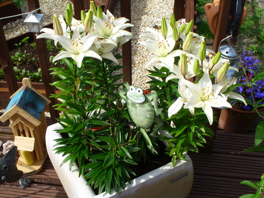 ASIATIC LILY: Reinesse