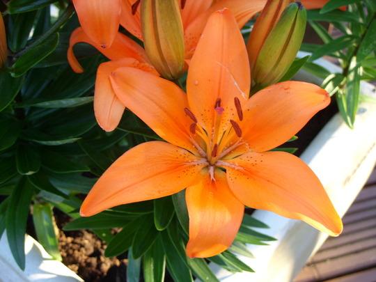 ASIATIC LILY: Orange Pixie