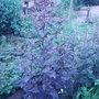 Red Orach (Atriplex hortensis var. rubra)