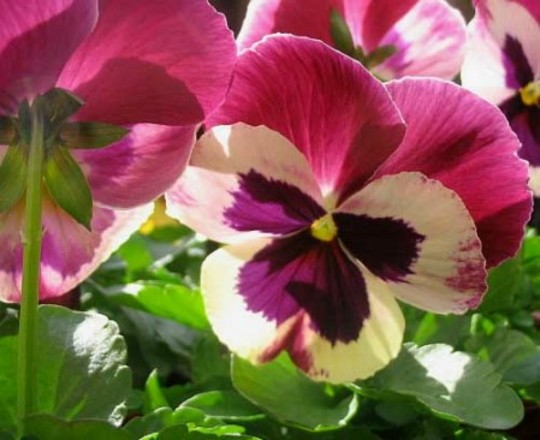 Pansy (Pansy)
