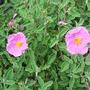 Cistusincanusssp.creticus2