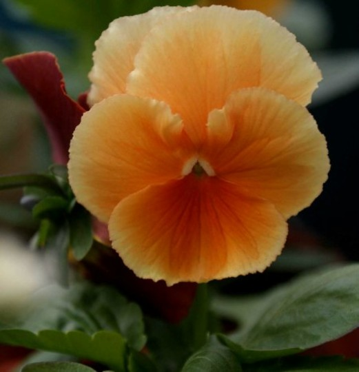 Orange Pansy (Pansy)