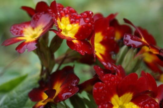 Polyanthus (Polyanthus)