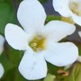 Bacopa_snowflake_close_up