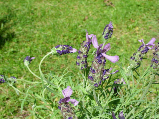 LAVANDULA Stoechas Alexandra: Butterfly Garden (Lavandula stoechas (French lavender))