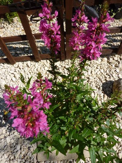 LYTHRUM SALICARIA: Firecandle (Lythrum Salicaria Feuerkerze)