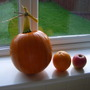 The biggest of the pumpkins now a brilliant orange!