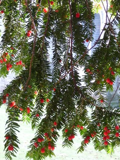 Yew berries (Taxus baccata (Yew))