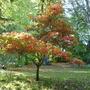 Japanese Maple (Acer palmatum (Japanese maple))