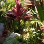 Cordyline terminalis - Ti Plant