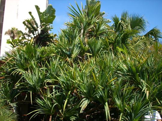 Pandanus utilis - Pandanus, Hala Tree (Pandanus utilis - Pandanus, Hala Tree)