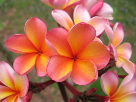 "Plumeria ""Harney's orange bouquet""AKA ""Darwin monsoon"" (Plumeria ""Darwin monsoon"")"