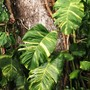 Philodendron pothos (Philodendron pothos)