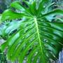 Monstera leaf (Monstera deliciosa leaf)