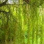 Weeping_willow_near_eton_college
