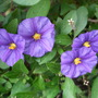 Solanum rantonneii (Royal Robe)