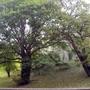 Trees - Windsor Castle